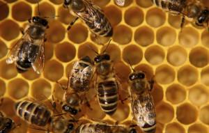 Honigbienen als Vorbild für die nachhaltige Gestaltung von Wertschöpfungsketten